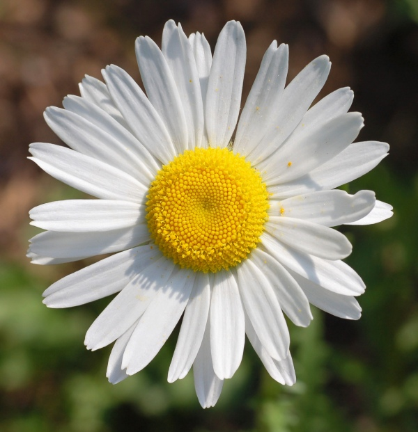Unidentified_White_Daisy_Top_View_1849px