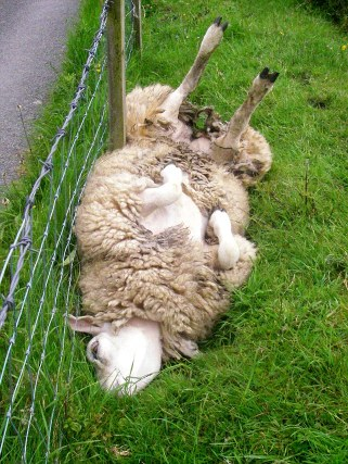 Upside down sheep