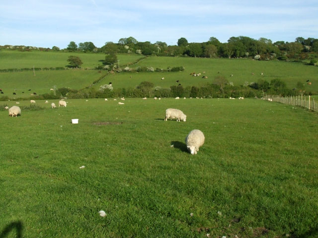 Sheep_grazing_near_to_Pentraeth_-_geograph.org