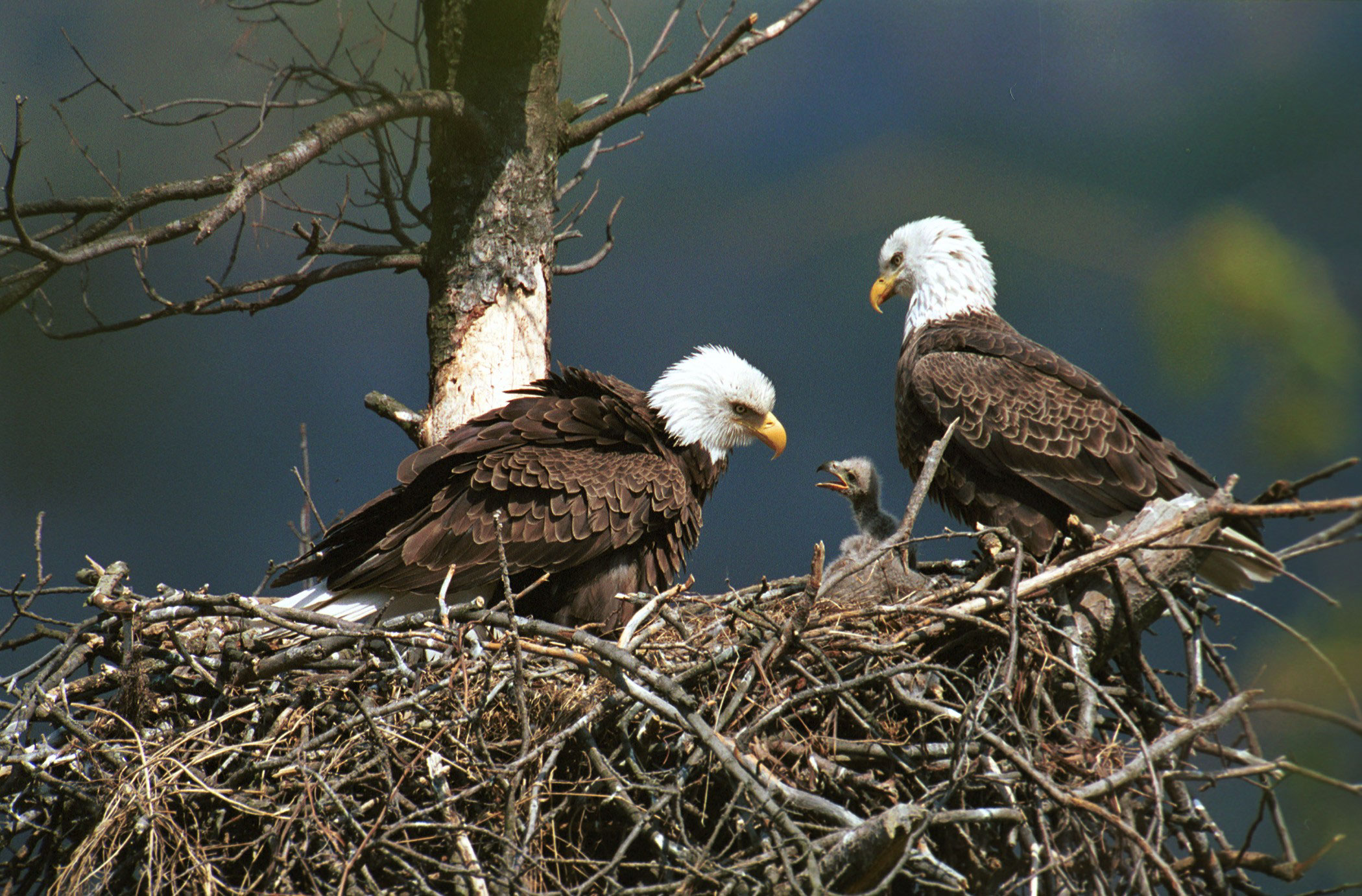 eagles-with-baby-and-nest