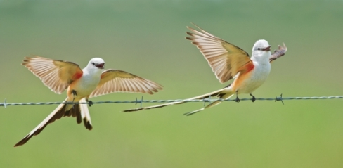 Scissor-tailed-Flycatcher-for-Texas-Photo-Journey-slideshow