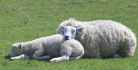 sheep sleep