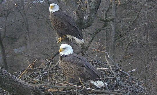 eagles-on-nest3--Sue-Greeley