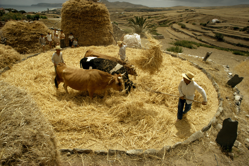 Oxen thresh grain with hooves and men separate kernels from straw.