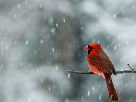 Winter-Cardinal-Bird-Widescreen-Desktop-Wallpapers