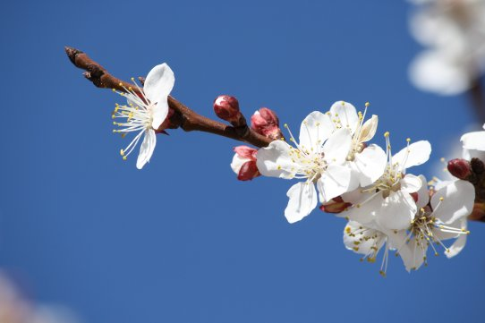 white-apricot-blossoms-and-red-flower-buds